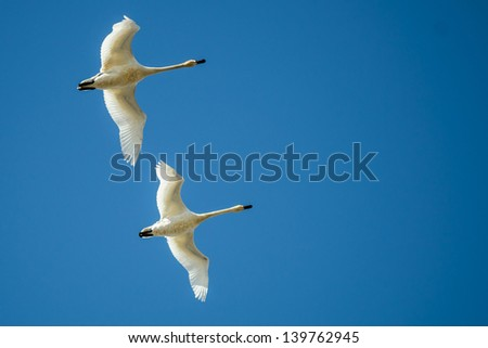 Trumpeter or Tundra Swans in flight