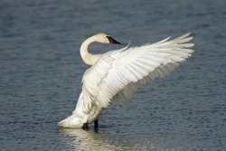 Trumpeter Swan beating its wings after preening in a lake