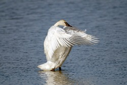 trumpeter swan beating wings while standing in a lake