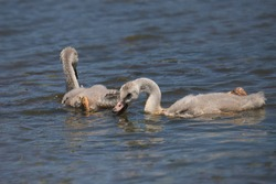 Trumpeter swan cignets (cygnus buccinator)