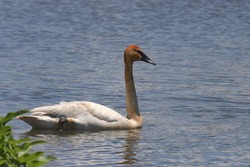 Trumpeter Swan (cygnus buccinator) with a rusty head and neck
