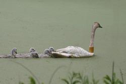 Trumpeter Swan family (cygnus buccinator)