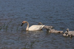 Trumpeter Swan family in swimming in a lake