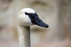 trumpeter swan head, close up shot