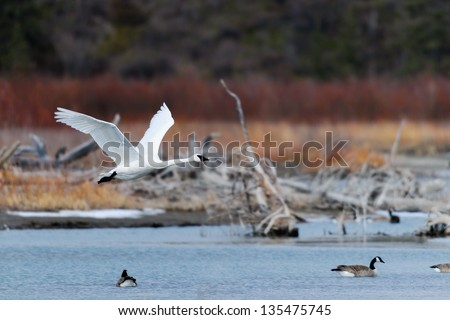 Trumpeter Swan in Flight over a lake in springtime