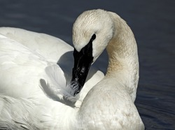 Trumpeter Swan playing with feather