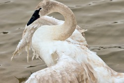 Trumpeter Swan stretching wings with a broken right wing on a peaceful pond