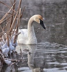 Trumpeter swan with reflection.  Winter in Wisconsin