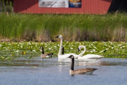 Trumpeter Swans and Canada Geese swimming in a wetland with white water lilies in bloom in the background.