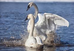 Trumpeter swans exhibiting courtship behavior.