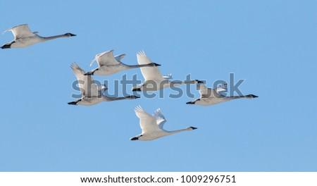 Trumpeter swans flying flock