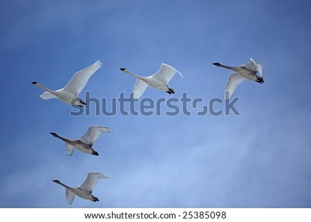 Trumpeter swans flying V formation sky birds beak wings clouds