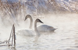 Trumpeter swans in the morning light, with mist rising off the water.  Winter in Wisconsin
