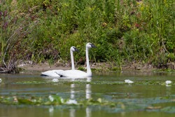 Trumpeter Swans swimming in a wetland with white water lilies blooming in the foreground.