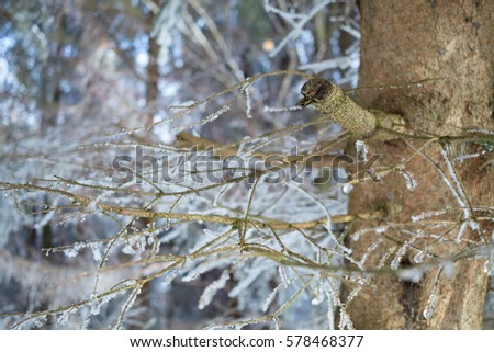 Trunk and branches of conifer tree ( evergreen ) - detail of plant.  Plants are frozen and covered with hoarfrost. Focus on broken branch (very low depth of field) #578468377