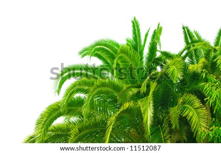 trunk and leaves of palm tree on a white background