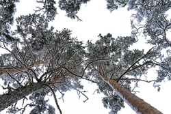 Trunk and ornamental foliage of pine tree, photographed from below to top. Mix from frosty crooked branches, green thorns and white sky.
