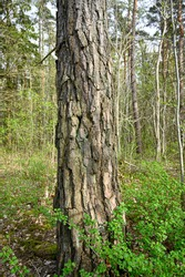 trunk of a pine with rough bark