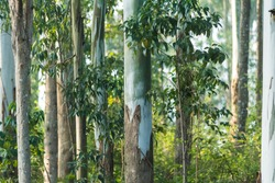 Trunk of Gum trees or Eucalyptus trees from the hilly slopes of Yercaud, Tamilnadu , India.