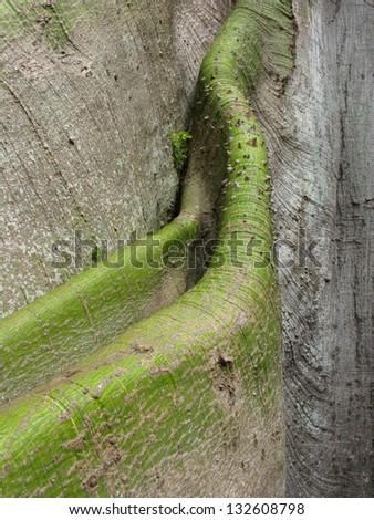 Trunk of the Kapok tree