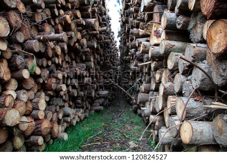 trunks felled and piled up for the industry
