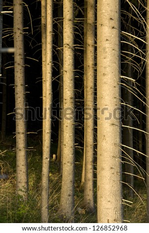trunks of a spruce tree in the forest