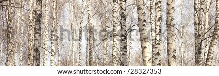 Trunks of birch trees, birch forest in spring, panorama with birches