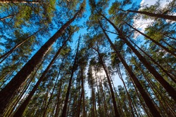 trunks of pine trees in a dense evergreen forest bottom up view on a blue sky with sun, eco friendly background on the theme of ecology environment, nobody.