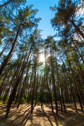 trunks of pine trees in a dense evergreen forest on a blue sky with sun flare and dry brown grass on ground, eco friendly background on the theme of ecology environment, nobody.