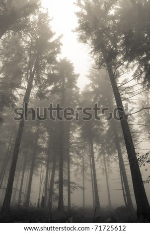 Trunks of trees in a misty forest