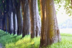 Trunks of trees in a park perspective, depth of field, the effect of sunshine