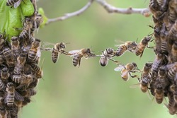 Trust in teamwork of bees linking two bee swarm parts. Bees make metaphor for business, concept of teamwork, api, cooperation, trust, community, bridging the gap, bridge, link, chain, nature.
