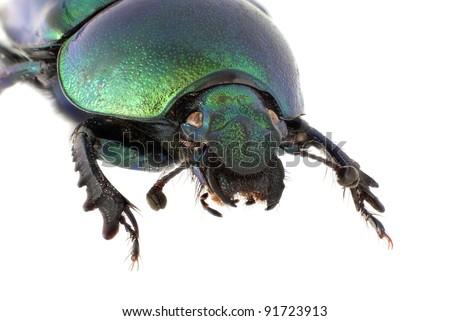 Trypocopris vernalis: Female