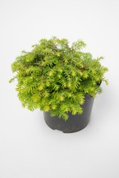 Tsuga canadensis Cole's Prostrate - outdoor plant