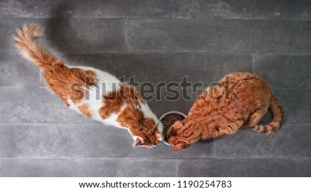 Ttwo cute tabby cats eating together dry food from a white bowl seen from a high angle view on a stone background with copy space.