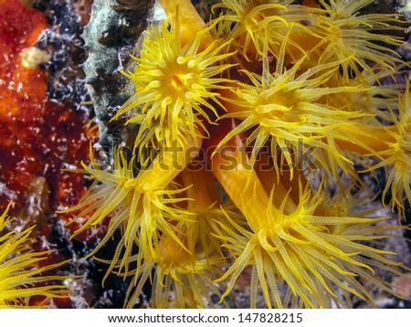 Tubastrea, also known as sun coral or sun polyps, is a genus of coral in the phylum Cnidaria. It is a cup coral in the family Dendrophylliidae