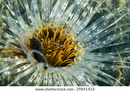 Tube Dwelling Anemone