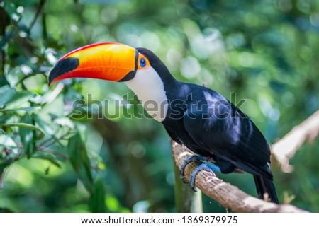 Tucano-toco bird Ramphastos toco close up portrait isolated in the wild Parque das Aves, Brasil - Birds place park in Brasil Brazil Toco-Toucan Toucan toucano-toco
