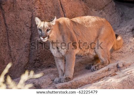 Tucson, Arizona - A cougar (puma concolor) moves about in it enclosure at the Arizona Sonoran Desert Museum.