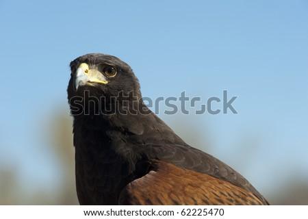Tucson, Arizona - A Harris Hawk, (parabuteo unicinctus) on display at the Arizona Sonoran Desert Museum.