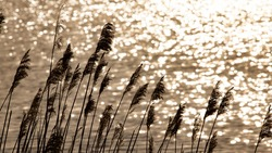 Tuft and reed flowers by a lake in France. Intense backlight and dazzling reflection in the water. Dark silhouettes of the reeds on the very bright background. Wild nature in France