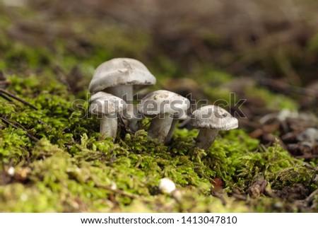 Tuft of Atractosporocybe inornata fungus growing in moss in pine needle litter in autumn. Buskett, Malta, Mediterranean