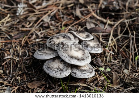 tuft of Lyophyllum littorina fungi with typical circles on cap growing in pine needles under an Aleppo pine woodland, Malta, Central Mediterranean