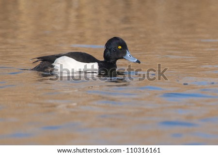 Tufted Duck male on water