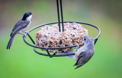 Tufted Titmouse and Black capped chickadee birds from Kentucky together swinging on an open feeder nature photography 2018 nature photography