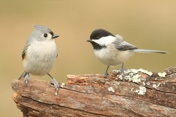 Tufted Titmouse (baeolophus bicolor) and a Black-capped Chickadee (poecile atricapilla) on a stump with a green background