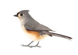 Tufted titmouse, Baeolophus bicolor, isolated on a white background