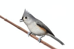 Tufted Titmouse (Baeolophus bicolor) - Isolated on a white background