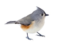 Tufted titmouse, Baeolophus bicolor, isolated on white