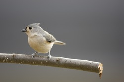 Tufted Titmouse (Baeolophus bicolor) on a branch in winter with a clean background.